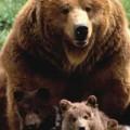 Des ours